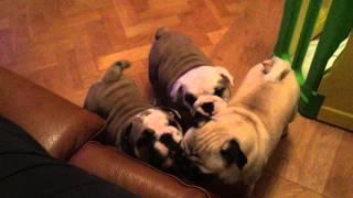 Baby Bulldogs annoy pug