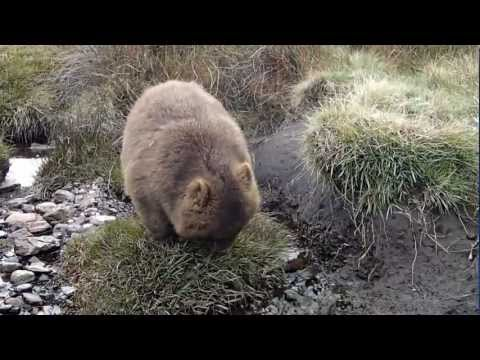 The dancing Wombat