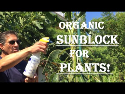 Record Heat = Sunburn Stressed Trees | Save Your Plants With IVOrganic 3-in-1 Sun Block For Plants!