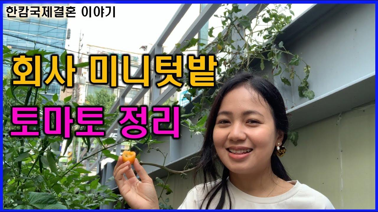 회사 미니텃밭에 토마토 정리하고 상추 심어요-캄보디아국제결혼