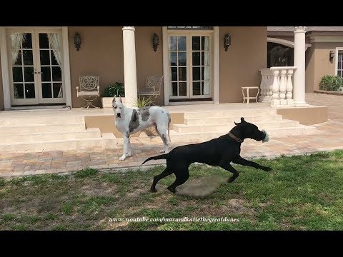 Great Dane Watches In Awe As Funny Puppy Plays With The Newspaper