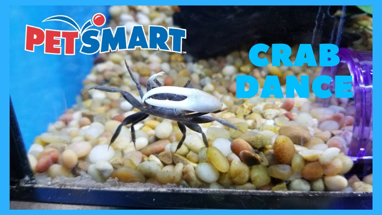 fiddler crab dance with polka dot pictus catfish in petsmart youtube