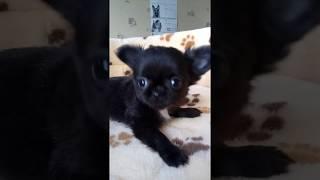 Черный мини мальчик чихуахуа Дарк