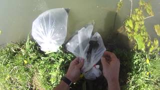 Stocking fish in my pond: Hybrid Bluegill, Black Crappie, and Hybrid catfish