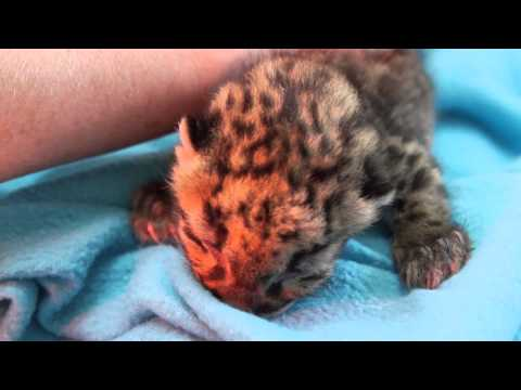 Thumbnail: Feeding Clouded Leopard Cubs Through Google Glass