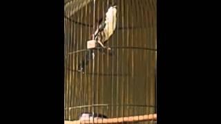 kicauan burung aneh (strange birds)