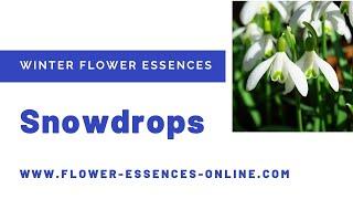Winter Flower Essences - Snowdrops