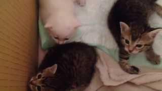 Котята испуганно шипят