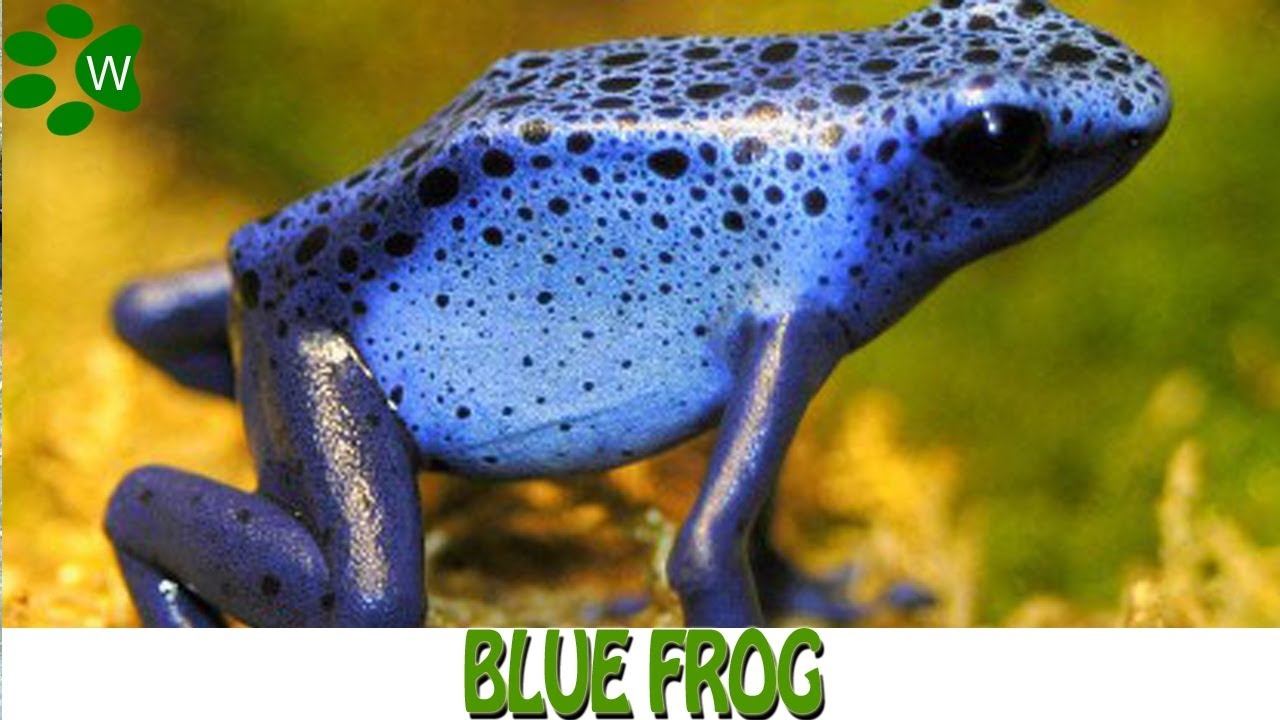The Poisonous Dart Frog - Blue Frog - YouTube