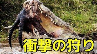 【野生動物の戦い】超危険生物の衝撃の狩り&捕食ハイライト!ライオンV...