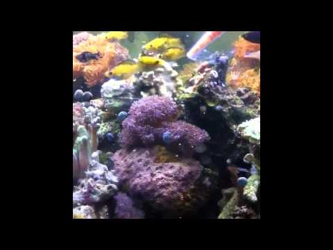 Sailfin molly saltwater acclimation doovi for Acclimating saltwater fish