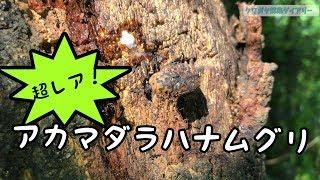珍虫アカマダラハナムグリをゲット! thumbnail