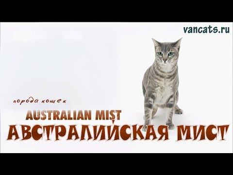 Австралийская Мист кошка, Австралийская кошка дымчатая