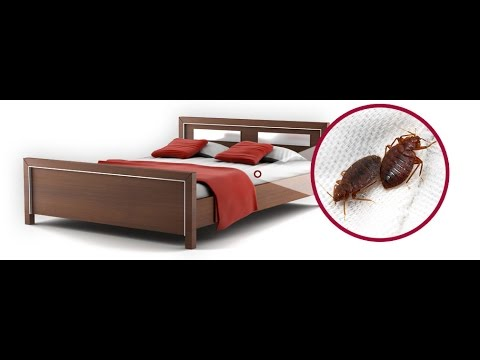 Come sono fatte le cimici da letto youtube - Cimici da letto vestiti ...
