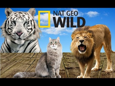 Cat Family - Species of Cats | Cat's Story (Nat Geo Wild)