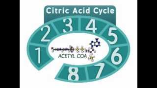 The Citric Acid Cycle: An Overview