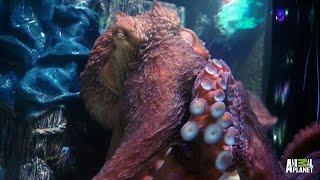 Wayde Fancies an Octopus Tank   Tanked