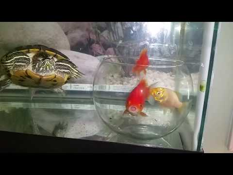 Psychology Of Fish - Bowl Inside Tank Experiment-part 2