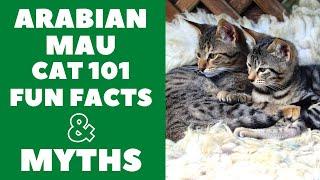 Arabian Mau Cats 101 : Fun Facts & Myths