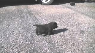 11月18日生まれの甲斐犬の女の子です。 目もひらいて、ヨチヨチ歩きがで...