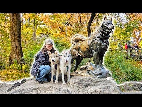 Huskies in Central Park