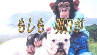 天才!志村どうぶつ園の人気者だった、チンパンジー・パンくん もうTVで...