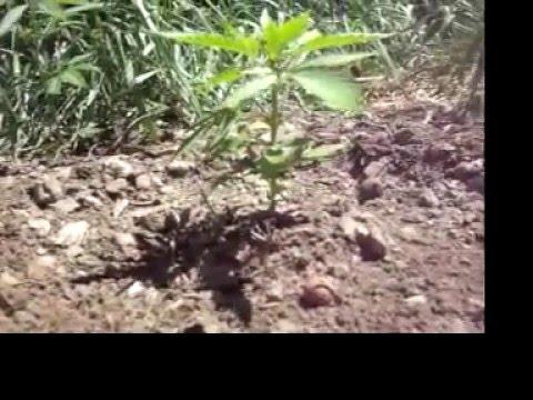 how to grow marijuana in australia