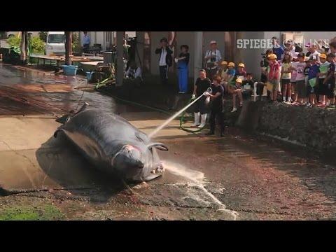 Walfang in Japan: Fangflotte rückt wieder aus