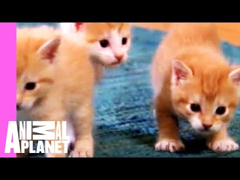 Kittens Make Friends with Guinea Pig | Too Cute