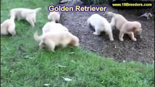 Golden Retriever, Welpen, Für, Verkauf, In, Nordrhein Westfalen, Deutschland, Bayern, Hessen