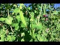 Snow Peas: Two Ways of Preserving