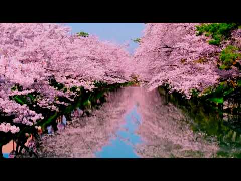 Цветение Сакуры в Японии. Sakura Flowering in Japan. youtube.