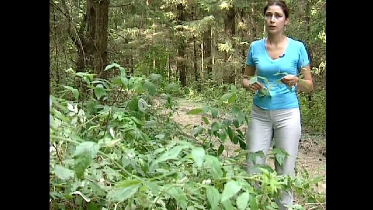 лекарственные травы от глистов видео