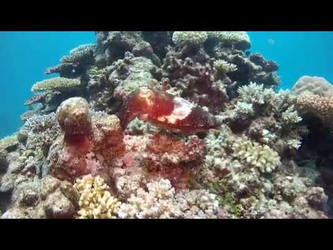 Cuttle Fish Diving Cairns