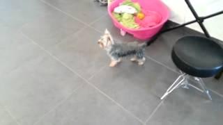 Fluffy the dog pees on command, щенок йорка писает на пелёнку, הכבלבה פלאפי משתינה לפי פקודה