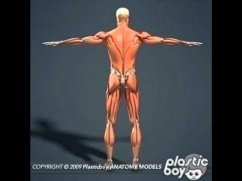 human muscular and skeleton anatomy 3d models - youtube, Muscles