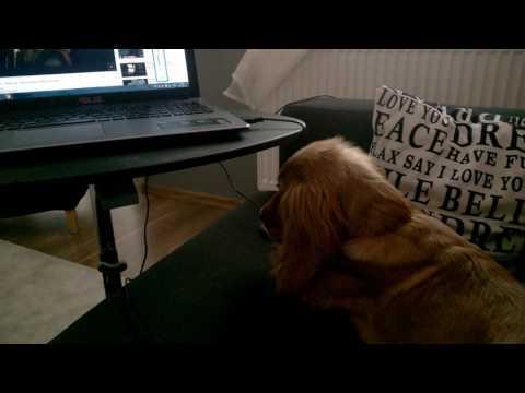 śpiewający pies/ singing dog :cocker spaniel ;) Burpee