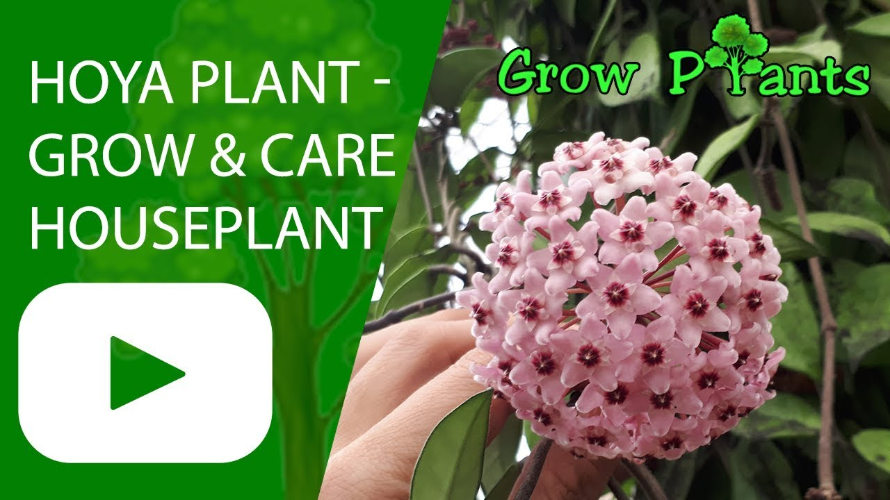 Hoya Plant Grow And Care Also As Houseplant Youtube