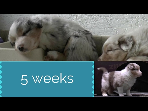 Puppies 5 Weeks   Australian Shepherds   Skaye's