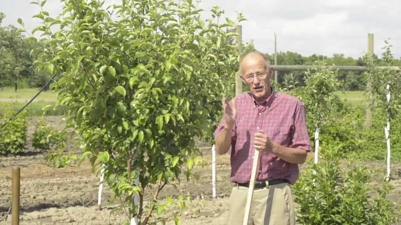 how long for apple tree to bear fruit