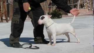 Training Bull Terrier (ebook)
