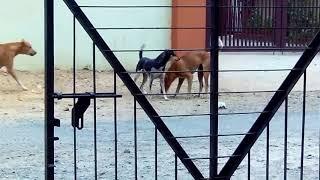 Street Dogs Fighting