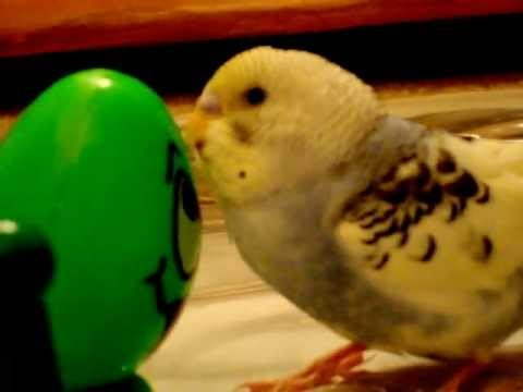 Cute Baby parakeet making sounds of kissing Eggie and is falling asleep MPG
