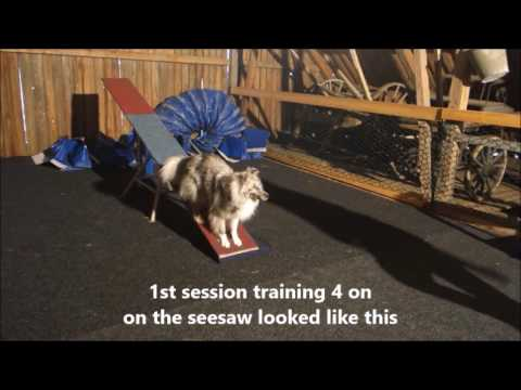 Sheltie Mio training agility and tricks, 11 months old