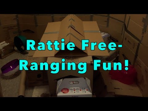 Rattie Free-Ranging Fun!