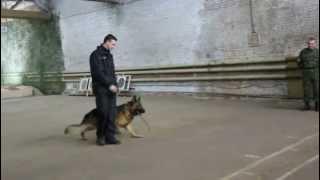 Служебное собаководство - показательное выступление.