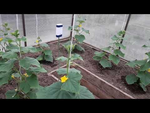 Как ухаживать за огурцами в теплице чтобы был хороший урожай видео