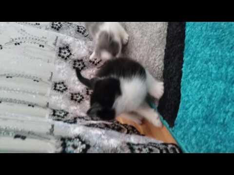 6 haftalik yavru kediler cok tatlilar katzenbabys