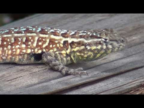 North American Wildlife --- Side-Blotched Lizard at Crystal Cove State Park