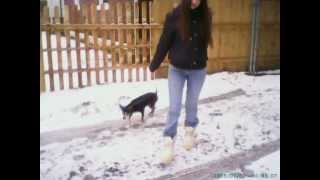 Dachshund Dog Escapes Leash And Runs Away In The Snow Woman Walking Miniature Doberman Pinscher